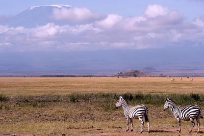 Mount Kilimanjaro Looms Above Zebras Razing in Amboseli National Park-Shannon Switzer-Photographic Print
