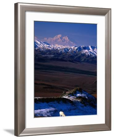 Mount Mckinley with Dall Sheep in Foreground, Denali National Park and Preserve, Alaska-Mark Newman-Framed Photographic Print