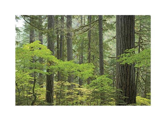 Mount Rainier Forest-Donald Paulson-Giclee Print