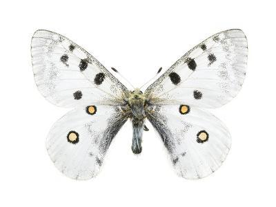 Mountain Apollo Butterfly-Lawrence Lawry-Photographic Print
