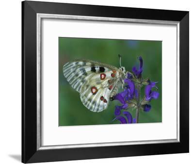 Mountain Apollo (Parnassius Apollo) on Flower, Switzerland-Thomas Marent/Minden Pictures-Framed Photographic Print