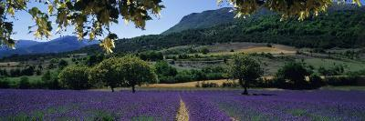 Mountain Behind a Lavender Field, Provence, France--Photographic Print