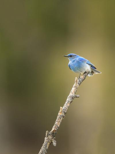 Mountain Blue Bird-Galloimages Online-Photographic Print