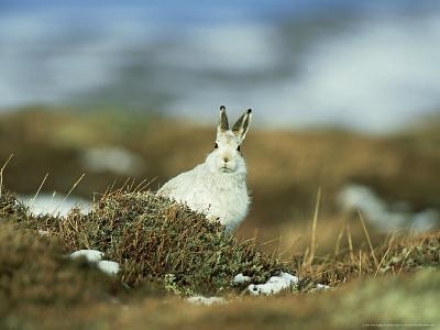 Mountain (Blue) Hare, Monadhliath Mtns, Scotland-Richard Packwood-Photographic Print