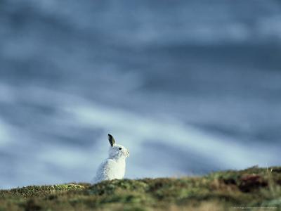 Mountain (Blue) Hare, Monadhliath Mtns, Scotland-Richard Packwood-Photographic Print