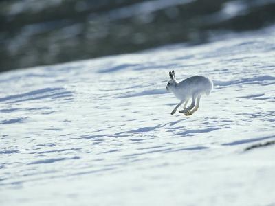 Mountain (Blue) Hare, Monadhliath Mts, Scotland-Richard Packwood-Photographic Print