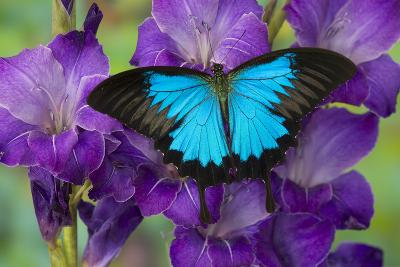 Mountain Blue Swallowtail of Australia, Papilio Ulysses-Darrell Gulin-Photographic Print