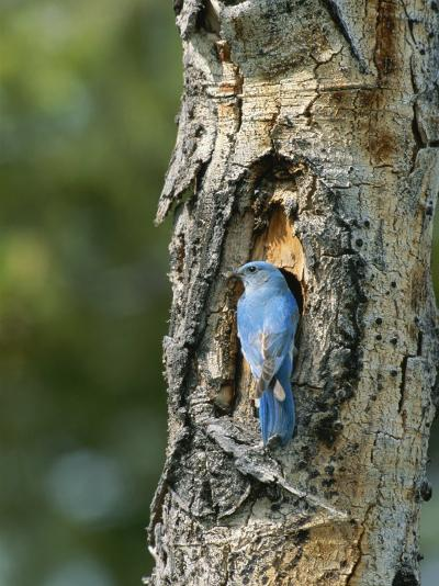 Mountain Bluebird at Nest on Tree Trunk-Norbert Rosing-Photographic Print