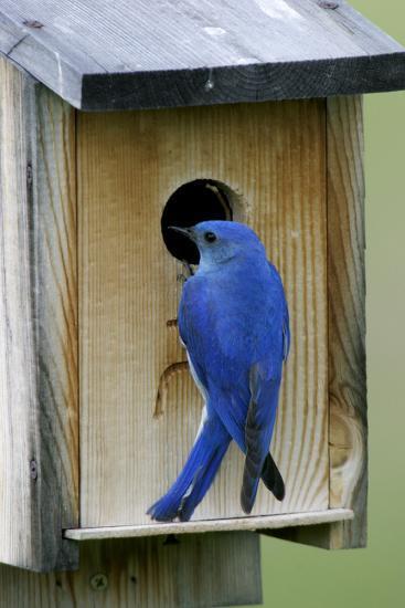 Mountain Bluebird Male at Nest Box--Photographic Print