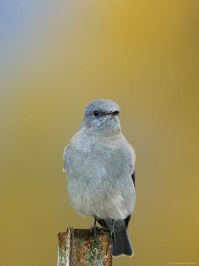 Mountain Bluebird, Male on Post, Grand Teton National Park, Wyoming, USA-Rolf Nussbaumer-Photographic Print