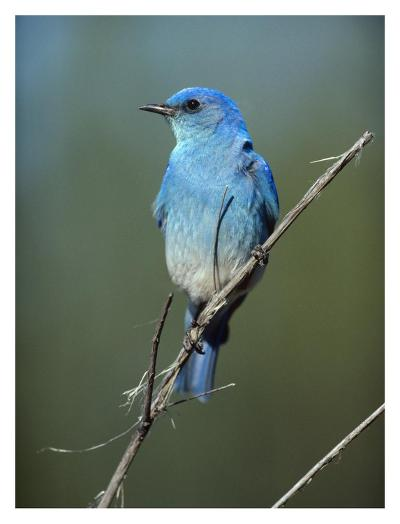 Mountain Bluebird perching on twig, North America-Tim Fitzharris-Art Print