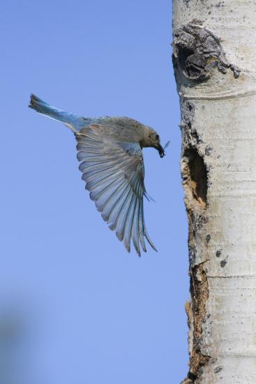 Mountain Bluebird Returning to Nest Cavity with Food-Ken Archer-Photographic Print