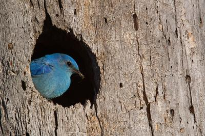 https://imgc.artprintimages.com/img/print/mountain-bluebird-sialia-currucoides-male-at-nest-hole-at-a-cavity-in-a-ponderosa-pine-tree-in-th_u-l-q1a2yz60.jpg?p=0