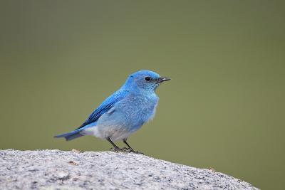 Mountain Bluebird (Sialia Currucoides) Male-James Hager-Photographic Print