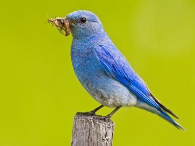 Mountain Bluebird With Caterpillars Near Kamloops, British Columbia, Canada-Larry Ditto-Photographic Print