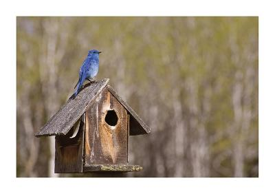 Mountain Bluebird-Donald Paulson-Giclee Print