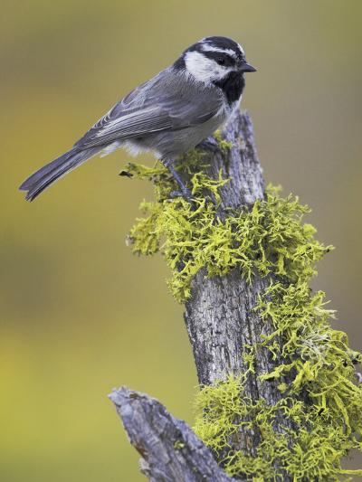 Mountain Chickadee (Poecile Gambeli) Perched on a Branch, Oregon, USA-Glenn Bartley-Photographic Print