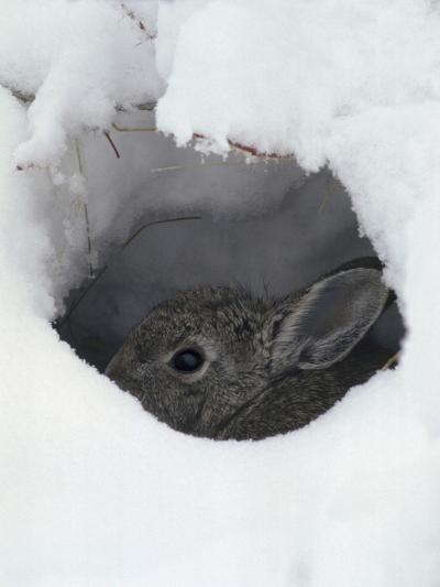 Mountain Cottontail (Sylvilagus Nuttallii) Hiding in a Hole in the Snow, Front Range, Colorado-Robert & Jean Pollock-Photographic Print