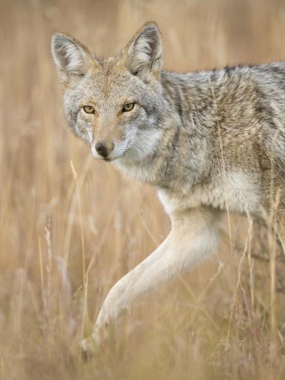 Mountain Coyote, Canis Latrans Lestes, Grand Teton National Park, Wyoming-Maresa Pryor-Photographic Print