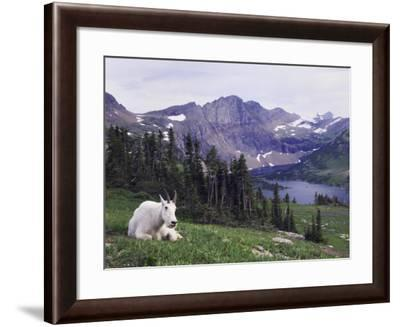 Mountain Goat Adult with Summer Coat, Hidden Lake, Glacier National Park, Montana, Usa, July 2007-Rolf Nussbaumer-Framed Photographic Print