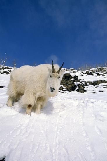 Mountain Goat Billy on High Mountain Slope-Design Pics Inc-Photographic Print