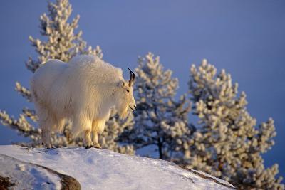 Mountain Goat Billys on High Mountain Slope Chugach National Forest Kenai Peninsula Ak Spring-Design Pics Inc-Photographic Print