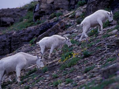 Mountain Goat, Glacier National Park, Montana, USA-Art Wolfe-Photographic Print