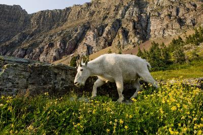 Mountain Goat, Hidden Lake Trail, Glacier NP, Kalispell, Montana-Howie Garber-Photographic Print