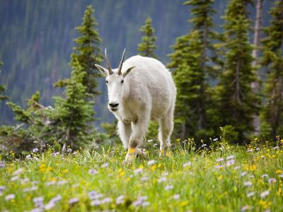 Mountain Goat in Wildflower Meadow, Logan Pass, Glacier National Park, Montana, USA-Jamie & Judy Wild-Photographic Print