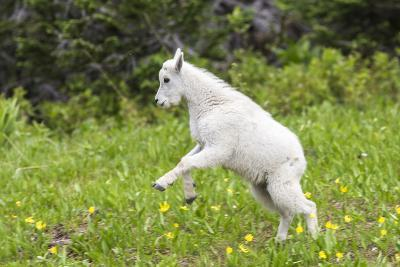 Mountain Goat Kid Kicks Up His Heels in Glacier National Park, Montana, USA-Chuck Haney-Photographic Print