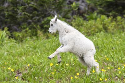 https://imgc.artprintimages.com/img/print/mountain-goat-kid-kicks-up-his-heels-in-glacier-national-park-montana-usa_u-l-pu4gxs0.jpg?p=0