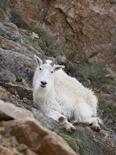 Mountain Goat, Mount Evans, Colorado, United States of America, North America-James Hager-Photographic Print