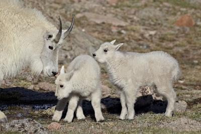Mountain Goat Nanny and Kids, Mt Evans, Arapaho-Roosevelt Nat'l Forest, Colorado, USA-James Hager-Photographic Print