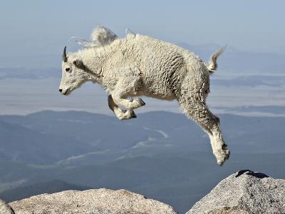 Mountain Goat (Oreamnos Americanus) Kid, Mt Evans, Arapaho-Roosevelt Nat'l Forest, Colorado, USA-James Hager-Photographic Print
