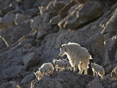 Mountain Goat (Oreamnos Americanus) Nanny and 5 Kids, Arapaho-Roosevelt Nat'l Forest, Colorado, USA-James Hager-Photographic Print