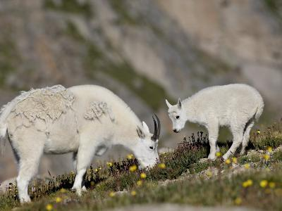Mountain Goat (Oreamnos Americanus) Nanny and Billy, Mount Evans, Colorado, Usa-James Hager-Photographic Print