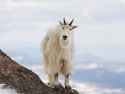 Mountain Goat (Oreamnos Americanus), Rocky Mountains, North America-John Cornell-Photographic Print