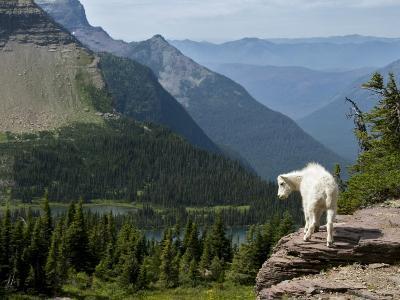 Mountain Goat (Oreamnos Americanus)-Mark Newman-Photographic Print
