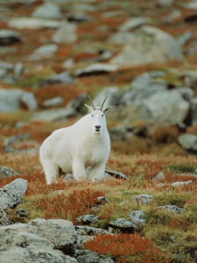 Mountain Goat (Oreamnos Montanus)-Elizabeth DeLaney-Photographic Print