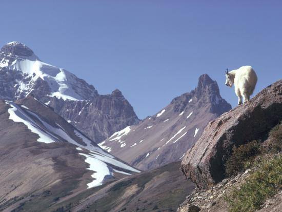 Mountain Goat Stands on Steep Mountain Ledge-Jeff Foott-Photographic Print