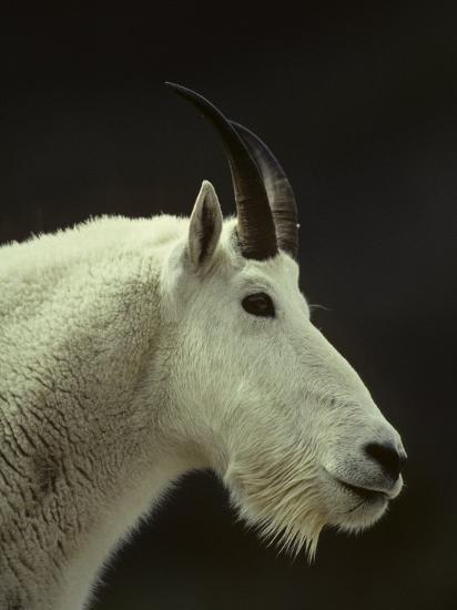 Mountain Goat Surveys its Montana Mountain Landscape-Michael S^ Quinton-Photographic Print
