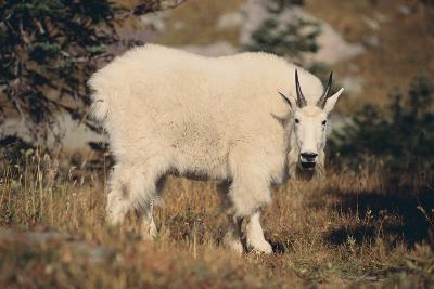 Mountain Goat-DLILLC-Photographic Print
