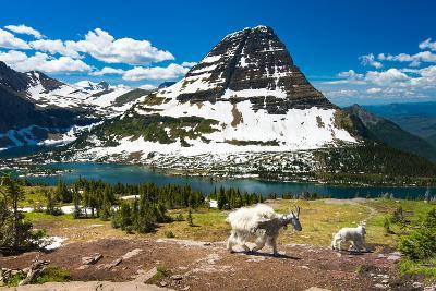 Mountain Goats and Hidden Lake, Glacier National Park- Pung-Photographic Print