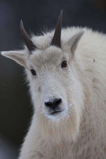 Mountain Goats are an Invasive Species in the Greater Yellowstone Ecosystem-Drew Rush-Photographic Print