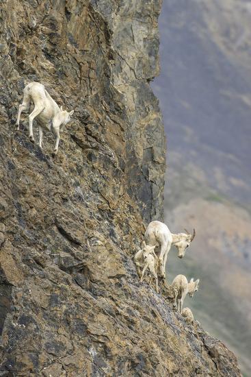 Mountain Goats, Kongakut River, ANWR, Alaska, USA-Tom Norring-Photographic Print