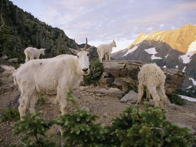 Mountain Goats Near Sperry Chalet, Glacier National Park, Montana-Skip Brown-Photographic Print