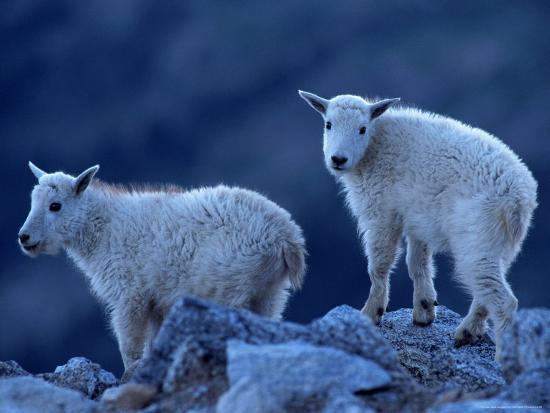 Mountain Goats on Mt. Evans, CO-Don Grall-Photographic Print
