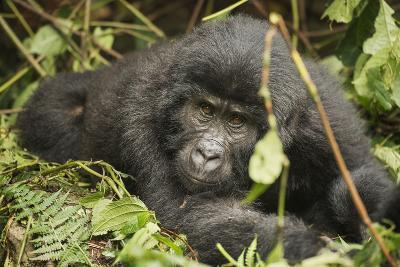 Mountain Gorilla, Bwindi Impenetrable National Park, Uganda, Africa-Janette Hill-Photographic Print