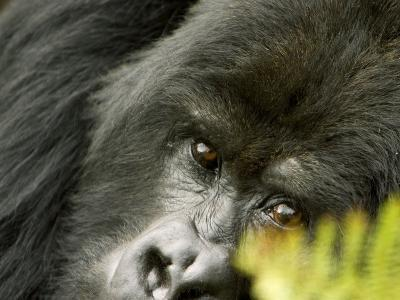 Mountain Gorilla, Close-up of Face Looking Through Fern, Africa-Roy Toft-Photographic Print