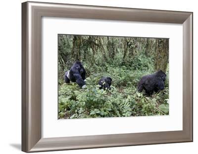 Mountain Gorilla Family Group-Tony Camacho-Framed Photographic Print